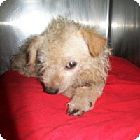 Poodle (Standard)/Cairn Terrier Mix Dog for adoption in Greeneville, Tennessee - Cricket