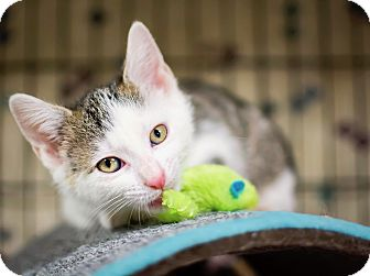 Domestic Shorthair Kitten for adoption in Jersey City, New Jersey - Mr. Knightley