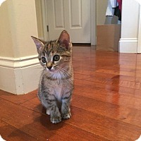 Domestic Shorthair Kitten for adoption in Crossville, Tennessee - Beth