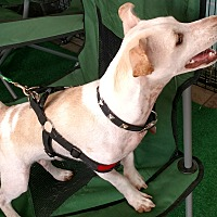 Adopt A Pet :: Arnie - San Diego, CA