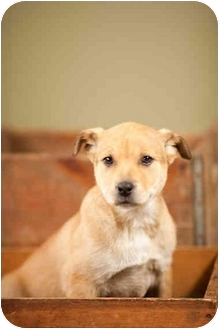 German Shepherd Dog/Labrador Retriever Mix Puppy for adoption in Portland, Oregon - Tillie
