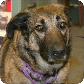 German Shepherd Dog/Shepherd (Unknown Type) Mix Dog for adoption in Berea, Ohio - Valla