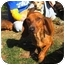 Photo 1 - Dachshund Dog for adoption in Vista, California - DUTCHESS