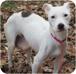 Labrador Retriever/American Pit Bull Terrier Mix Dog for adoption in Bloomfield, Connecticut - Petula Clark