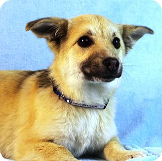Shepherd (Unknown Type)/Terrier (Unknown Type, Medium) Mix Puppy for adoption in Westminster, Colorado - Tori