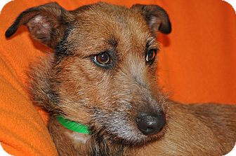 Terrier (Unknown Type, Medium) Mix Dog for adoption in Tumwater, Washington - Coco
