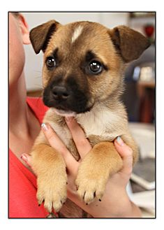 Golden Retriever/Shepherd (Unknown Type) Mix Puppy for adoption in Comanche, Texas - Beebee