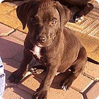 Adopt A Pet :: Zues - Phoenix, AZ