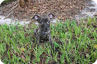 Papillon/Pit Bull Terrier Mix Puppy for adoption in Ft. Myers, Florida - Cricket