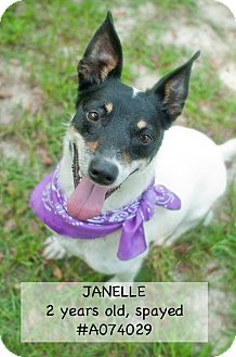 Jack Russell Terrier Mix Dog for adoption in Wilmington, North Carolina - Janelle