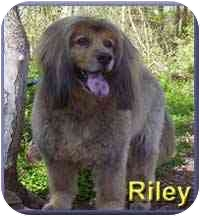 Afghan Hound/Golden Retriever Mix Dog for adoption in Aldie, Virginia - Riley