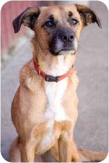 Boxer Mix Dog for adoption in Portland, Oregon - Ginger