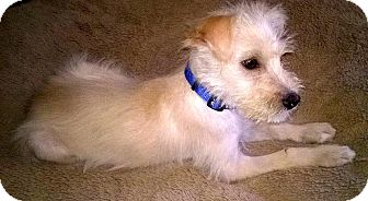 Schnauzer (Miniature)/Terrier (Unknown Type, Small) Mix Puppy for adoption in Carlsbad, California - Emilio