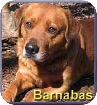 Labrador Retriever/Golden Retriever Mix Dog for adoption in Aldie, Virginia - Barnabas