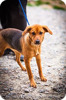 Hound (Unknown Type) Mix Puppy for adoption in Southern Pines, North Carolina - Lynn