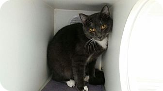 Russian Blue Cat for adoption in Maryville, Tennessee - Shane
