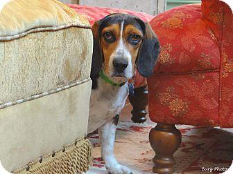 Beagle/Basset Hound Mix Dog for adoption in Williamsburg, Virginia - Duke