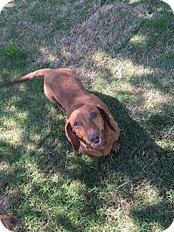 "Dachshund Mix Dog for adoption in Gadsden, Alabama - Daisy May ""aka Sister"""