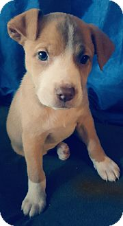 Pit Bull Terrier Mix Puppy for adoption in Lacey, Washington - June