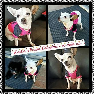 Chihuahua Dog for adoption in Fullerton, California - Cookie