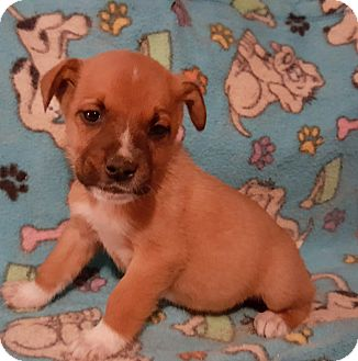Boxer Mix Puppy for adoption in Burlington, Vermont - Mack