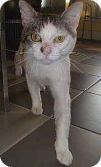 Domestic Shorthair Cat for adoption in Hamburg, New York - Streak