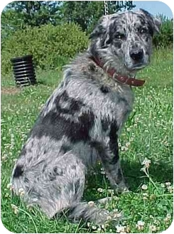 Australian Shepherd/Shepherd (Unknown Type) Mix Dog for adoption in North Judson, Indiana - Blue