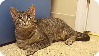 Domestic Shorthair Kitten for adoption in Circleville, Ohio - Mai Too