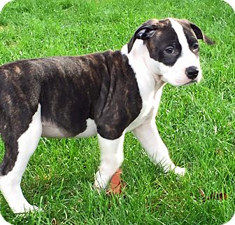 American Pit Bull Terrier Mix Puppy for adoption in Salem, Oregon - Blaze