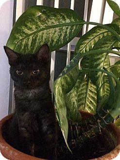 Domestic Shorthair Kitten for adoption in Toronto, Ontario - Gideon