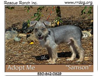 Chinese Crested/Lhasa Apso Mix Puppy for adoption in Yreka, California - Sampson