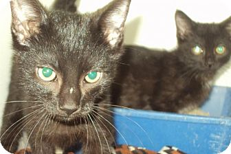 Domestic Shorthair Cat for adoption in Mt. Vernon, Illinois - 2 kittens