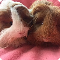Adopt A Pet :: Mila - Highland, IN