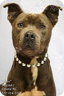 Pit Bull Terrier Mix Dog for adoption in Newnan City, Georgia - Juice