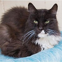 Domestic Longhair Cat for adoption in Corinne, Utah - Sunshine