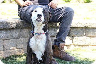 Pit Bull Terrier Mix Dog for adoption in Greensboro, North Carolina - Mira