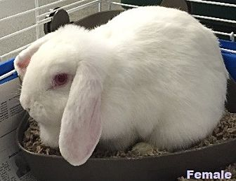 Lop-Eared for adoption in Princeton, Minnesota - Snowflake