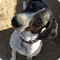 Adopt A Pet :: Copper C-You know he's great from this pix! - Apple Valley, CA