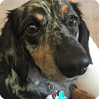 Adopt A Pet :: Gracie #8 in MI - Columbia, TN