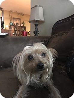 Yorkie, Yorkshire Terrier Dog for adoption in Baton Rouge, Louisiana - Cooper