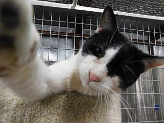 Domestic Shorthair Cat for adoption in Montgomery City, Missouri - Graham