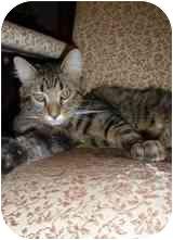 Maine Coon Cat for adoption in Arlington, Virginia - Molson