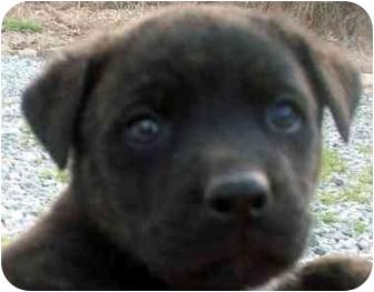 Labrador Retriever Mix Puppy for adoption in Chapel Hill, North Carolina - Will