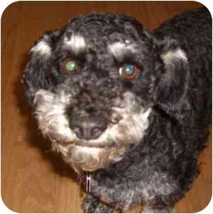 Schnauzer (Miniature)/Dachshund Mix Dog for adoption in Redondo Beach, California - Angie