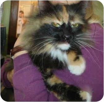 Calico Cat for adoption in Leoti, Kansas - Amanda**