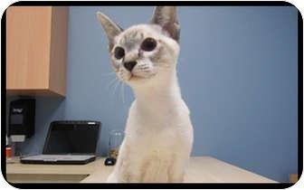 Siamese Kitten for adoption in Montreal, Quebec - Miley *Adoption Pending