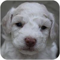 Bichon Frise Mix Puppy for adoption in La Costa, California - Caitlyn