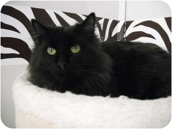 Domestic Longhair Cat for adoption in Rock Springs, Wyoming - Blue