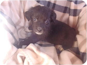 Chihuahua Mix Puppy for adoption in Bel Air, Maryland - Trixi