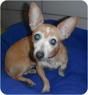 Chihuahua Mix Dog for adoption in Jackson, Michigan - Pookie